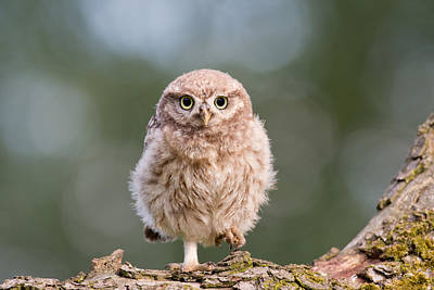 Juvenile Photograph - Little Owl Chick by Roeselien Raimond