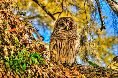 Photograph - Little Owl by Ed Roberts