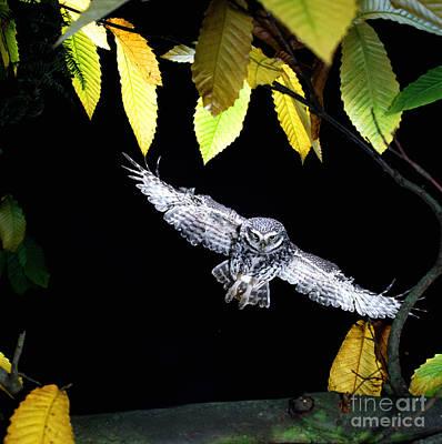 Photograph - Little Owl Landing by Warren Photographic