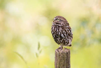 Cute Bird Photograph - Little Owl Looking Up by Roeselien Raimond