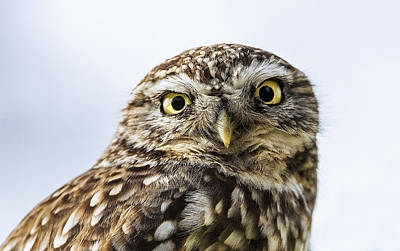 Little Owl Photograph - Little Owl  by Paul Neville