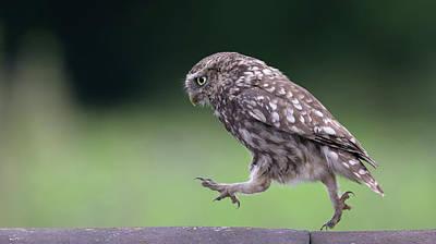 Photograph - Little Owl Running Along Ridge Tiles by Peter Walkden