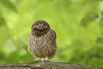 Little Owl Photograph - Little Owlet by Roeselien Raimond