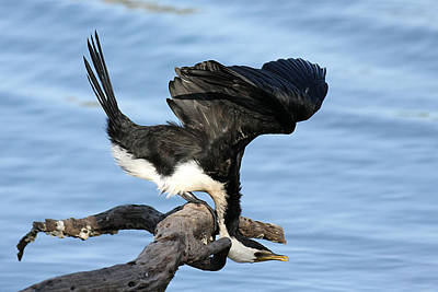 Photograph - Little Pied Cormorant 1a by Tony Brown