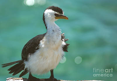 Busselton Photograph - Little Pied Cormorant by Cassandra Buckley