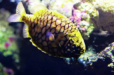 Photograph - Little Pineapple Fish by Miroslava Jurcik