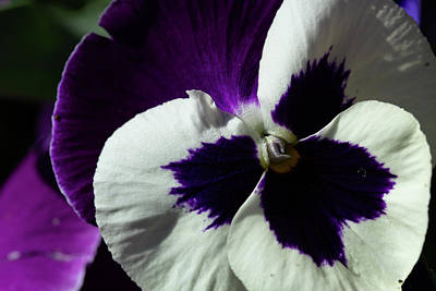 Photograph - Little Purple Pansy by Marie Leslie