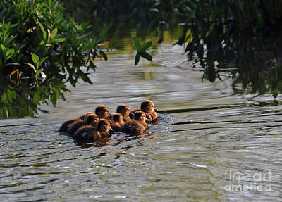 Photograph - Little Quackers Looking For Mama by Debby Pueschel