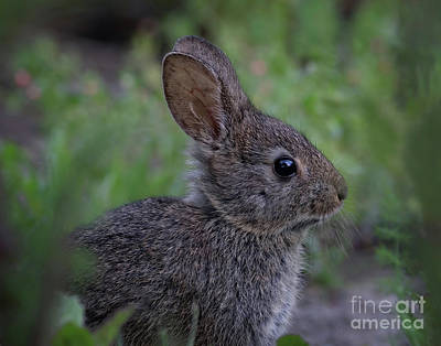 Photograph - Little Rabbit by Beth Sargent