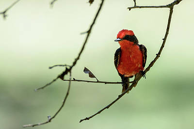 Photograph - Little Red Beauty - Vermilion Flycatcher by Debra Martz