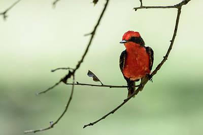 Photograph - Little Red Beauty - Vermilion Flycatcher by Debra Martz