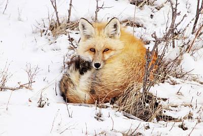 Little Red Fox Art Print