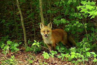 Photograph - Little Red Fox In The Woods by Christiane Schulze Art And Photography
