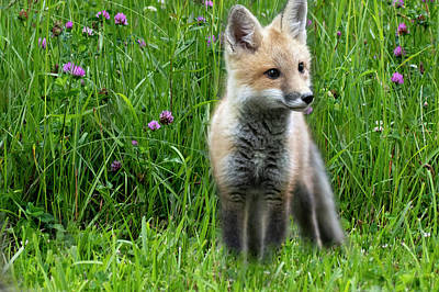 Photograph - Little Red Fox Kit In The Field by Dan Friend