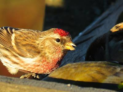 Photograph - Little Red Poll by Nancy Pauling