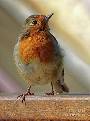Photograph - Little Robin Redbreast by Lynn Bolt