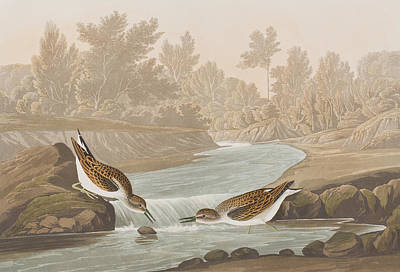 Sandpiper Drawing - Little Sandpiper by John James Audubon