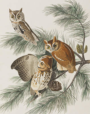 Colored Owl Painting - Little Screech Owl  by John James Audubon