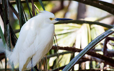 Photograph - Little Snowy Egret by Kenneth Albin