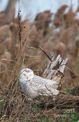 Photograph - Little Snowy Owl by Debbie Parker
