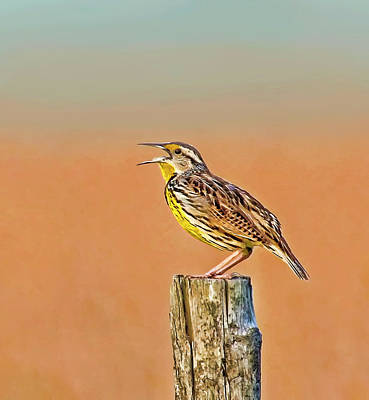 Photograph - Little Songbird by HH Photography of Florida