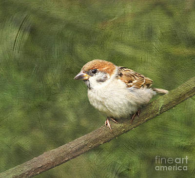 Photograph - Little Sparrow #2 by Lisa Cockrell