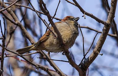 Photograph - Little Sparrow by Ray Congrove