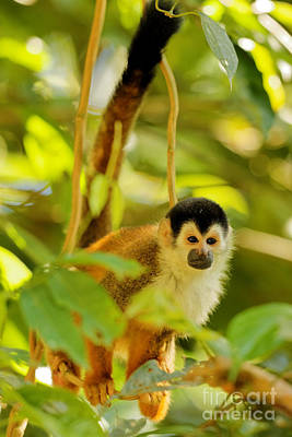 Costa Rica Photograph - Little Squirrel Monkey by Natural Focal Point Photography