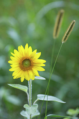 Photograph - Little Sunflower That Could by Sara Hudock