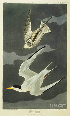 Natural Drawing - Little Tern by John James Audubon