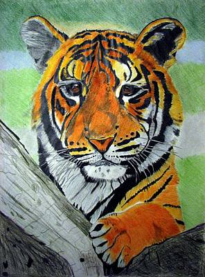 Drawing - Little Tiger by Melita Safran