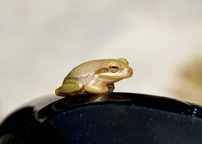 Photograph - Little Traveling Baby Tree Frog by rd Erickson