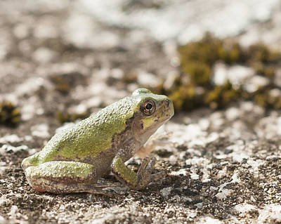 Photograph - Little Tree Frog by Kathryn Whitaker