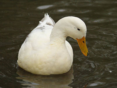Kids Alphabet Royalty Free Images - Little White Duck Royalty-Free Image by Adrian Wale