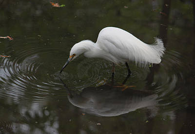 Photograph - Little White Egret IIi by Suzanne Gaff
