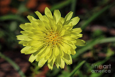Photograph - Little Wild Yellow by Deborah Benoit