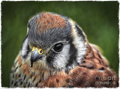 Kestrel Photograph - Little Wing by Mitch Shindelbower