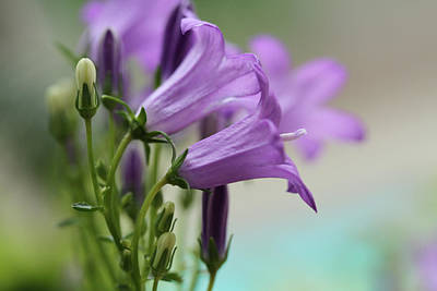 Bellflower Photograph - Little Wonder by Connie Handscomb