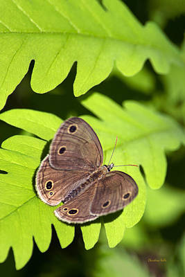 Photograph - Little Wood Satyr Butterfly by Christina Rollo