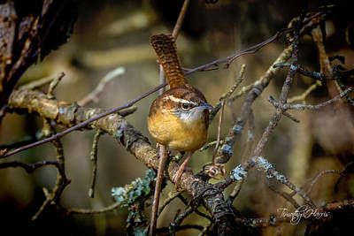 Photograph - Little Wren 1 by Timothy Harris