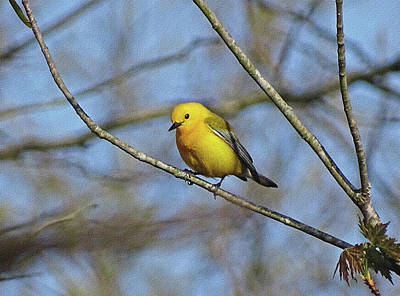 Photograph - Little Yellow Bird by Sandy Keeton