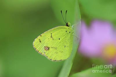 Photograph - Little Yellow Butterfly Close-up by Karen Adams