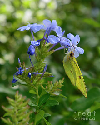 Photograph - Little Yellow Butterfly On Plumbago Flowers by Olga Hamilton