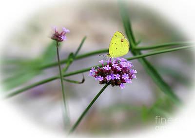 Photograph - Little Yellow Butterfly On Verbena by Karen Adams