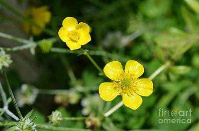 Photograph - Little Yellow Jewels by Lew Davis