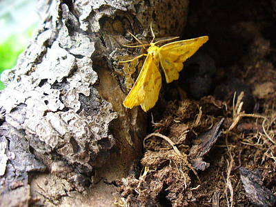Photograph - Little Yellow Moth by Peggy King