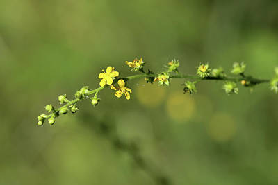 Photograph - Little Yellow Wildflowers 070818 by Mary Bedy