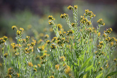 Fiddleneck Photograph - Little Yellow Wildflowers  by Saija Lehtonen