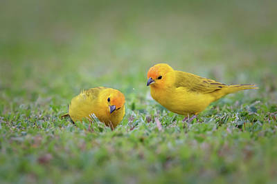 Photograph - Litttle Yellow Finch by Susan Rissi Tregoning