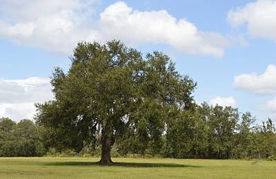 Photograph - Live Oak - All Alone by rd Erickson